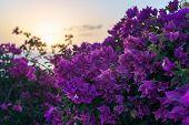 Flowerful Big Purple Bougainvillea Plant Tree At Sundown Sunset poster