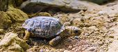 Closeup Of A Speckled Tortoise, Small Turtle Specie From Africa, Endangered Tropical Animal Specie poster