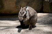 The Brush Tailed Wallaby Is Grooming His Tail poster