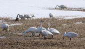 image of whoopees  - Birds - JPG