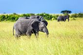 Huge lonely elephant in the grass of the savannah. Elephants are the largest mammals. Africa. The M poster