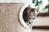 Young Bengal kitten play in cat tree at home. Home breeding poster