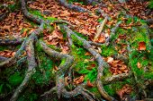 view on tree roots in green moss and autumn leaves poster