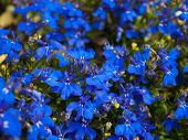 foto of lobelia  - A shot of a Lobelia Erinus flower - JPG