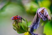Macro Photo Of The Insect Pyrrhocoris Apterus On A Flower.macro Photo Of The Insect Pyrrhocoris Apte poster