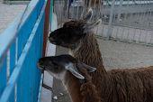 Llamas Are In Their House At The Zoo.llamas Are In Their House At The Zoo. poster