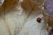 Coccinellidae Macro Photo As Background.coccinellidae Macro Photo As Background poster