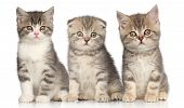 foto of scottish-fold  - Group of Scottish kitten posing on a white background - JPG