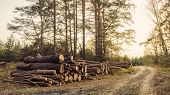 Fallen Trees Lie In A Pile Of Logs, Logging Logs, Wood Materials, Sunny Forest Sunset In The Forest poster