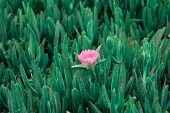 Succulent Coastal Plant Carpobrotus Rossii Or Carcalla, Growing On Coastal Dunes. Green Background W poster
