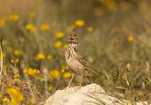 stock photo of meadowlark  - Lark put on a stone in a meadow - JPG