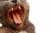 Angry Cat Closeup Isolated. Open Mouth Cat Growls Angry Hisses On White Background. Grey Aggressive  poster