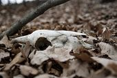 Ram Skulls In Forest. Animal Skull In The Autumn Forest. A Real Lamb Skull On A Foliage Background . poster