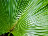 Leaf of a large fan palm tree