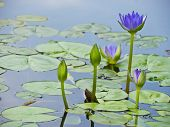 pic of water lilies  - Blue water lily and green leaf in pond - JPG