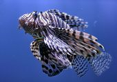 image of fire coral  - striped lionfish in blue water close up - JPG