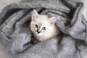 stock photo of masquerade  - Siberian Neva Masquerade kitten lying on a soft bad - JPG