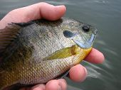 foto of bluegill  - bluegill bream - JPG