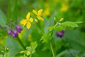 picture of celandine  - Yellow greater celandine in nature - JPG