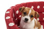stock photo of spotted dog  - Red spotted pet bed with little Jack Russel puppy - JPG