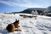 stock photo of alsatian  - German Shepherd guarding herd of sheep feeding Skudde - JPG