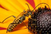 pic of goldenrod  - A Goldenrod Soldier Beetle Chauliognathus pennsylvanicus guards it - JPG