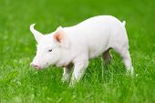 foto of piglet  - One young piglet on green grass at pig breeding farm - JPG