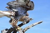 stock photo of hawks  - A Ferruginous Hawk Buteo regalis on a Snag Against a Blue Sky - JPG
