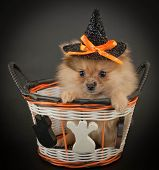 stock photo of pom-pom  - Cute little Pom puppy wearing a witch hat sitting in a Halloween basket on a black background - JPG