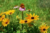 Golden Black-eyed Susans and Coneflowers