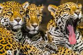 foto of ocelot  - Two young male Jaguars and their mother