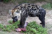 stock photo of hyenas  - Young hyena cub eating red meat from it - JPG