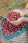 stock photo of coffee crop  - Close up coffee berries on agriculturist hand - JPG