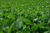 image of soybeans  - A field of soybeans in early summer - JPG