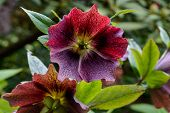 foto of lenten  - Red lenten rose close - JPG