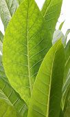 stock photo of tobacco leaf  - Beautiful ripe tobacco leaf in the field - JPG