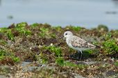 Sanderling Standing On Seaweed Covered Rocks At Low Tide