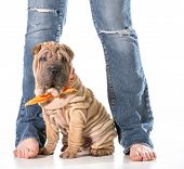 dog and owner - chinese shar pei sitting with owner isolated on white background