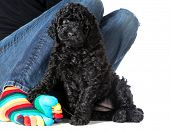 woman sitting with her dog - 7 week old barbet puppy