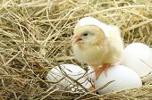 Cute little chicken coming out of a white egg  in nest