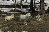 pic of horrific  - A pack of arctic wolves watch over each other - JPG