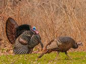 picture of gobbler  - Strutting male wild turkey displaying in the spring mating season - JPG