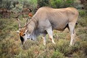 Large male eland antelope (Tragelaphus oryx) feeding, South Africa