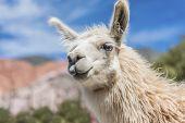 pic of lamas  - Llama in Purmamarca near Cerro de los Siete Colores  - JPG