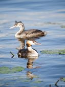 image of great crested grebe  - Swimming Great - JPG