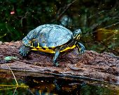 picture of alligators  - Yellow belly slider turtle, Alligator River wildlife refuge