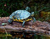 pic of alligators  - Yellow belly slider turtle, Alligator River wildlife refuge ** Note: Visible grain at 100%, best at smaller sizes - JPG