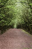 image of hazelnut tree  - well manicured and maintained hazelnut tree farm in Oregon - JPG