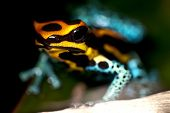 pic of orange poison frog  - Small poison dart frog sitting on a leaf - JPG