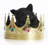 image of scottish terrier  - regal puppy  - JPG